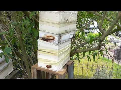 Australian native bees A gentle way to split the hive