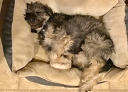SnickerDoodle age 18 weeks, wt. 28 lbs.