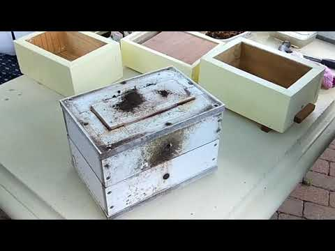 Stingless bees - what could go wrong?