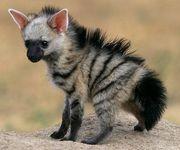 animal-aardwolf-pup1