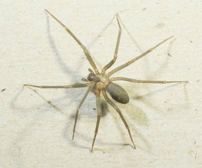 The Dangerous Brown Recluse Spider