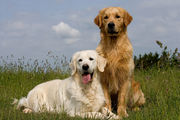 [WEBINAR] Genetics in Golden Retriever