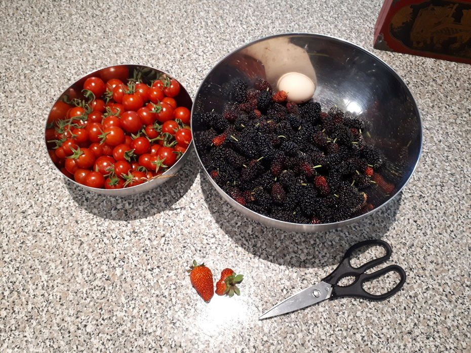 First lot of cherry toms and mulberries