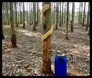 Stemflow in Eucalyptus