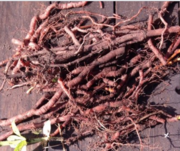 Cordwainer's Grow: Natural Dye Workshop: RED
