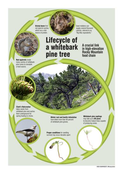 Lifecycle of a whitebark pine tree