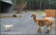 Giving race rules to Alpacas
