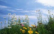 daisy-Flowers-mixed