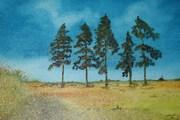 Five pine tree 003
