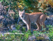 Lynx on the Yukon_August 2016