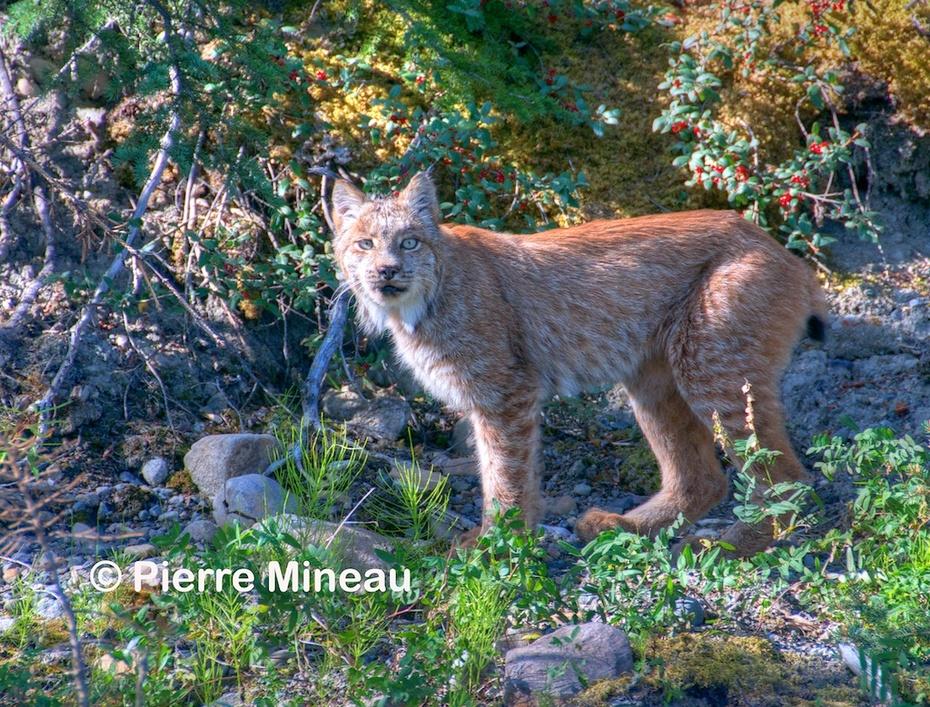 Lynx on the Yukon_August 2016