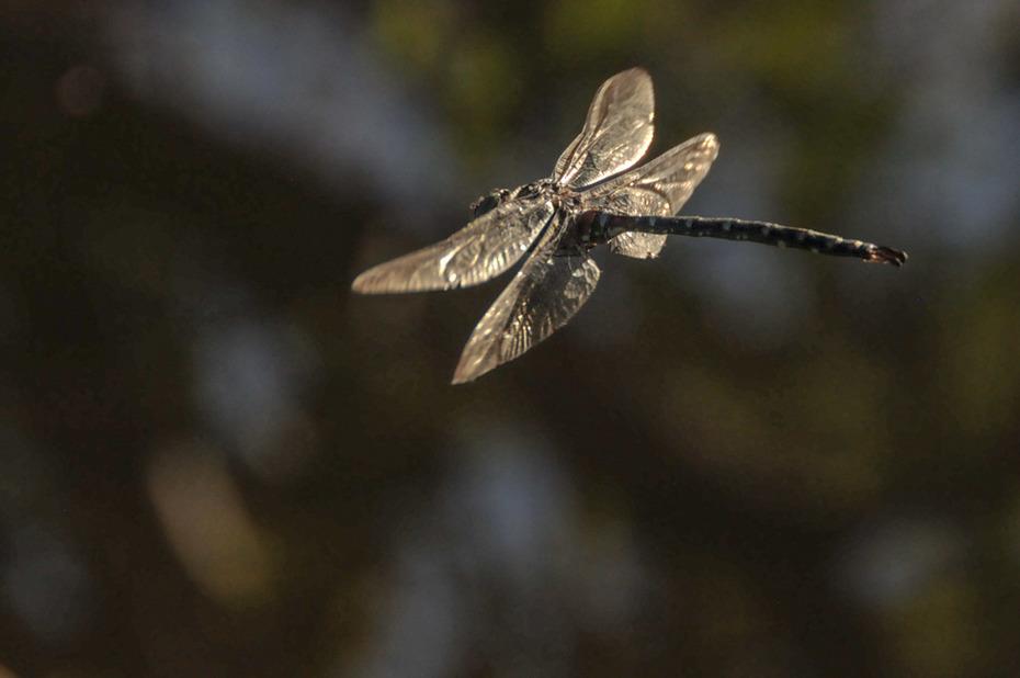 Vineyard dragonfly