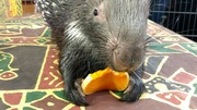 Quilliam the African Crested Porcupine