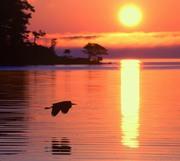 Heron flying over Hamlin Lake, Ludington State park. Michigan