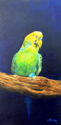Bold budgie