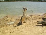Les crocodiles sacrés de Bazoulé
