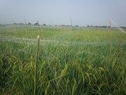 Protection du riz contre les oiseaux