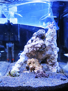 Full Tank Pic Ecoxotic EcoPico Porcelain Anemone Crab