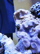Margarita Snail Live Rock Ecoxotic EcoPico