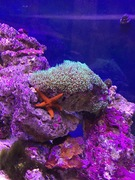 Star polps and red starfish