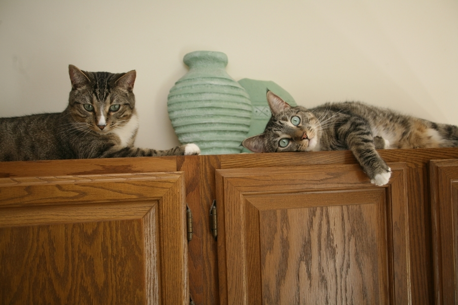 Photo - Cool Cats on Kitchen Cabinet #2 - Monte and Ivan Chilling in Mizzou 6-29-09