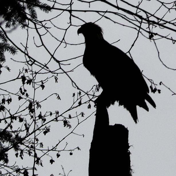 Eagle Sillouette