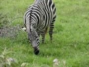 L. Nakuru - Zebra