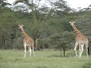 L. Nakuru -Giraffe