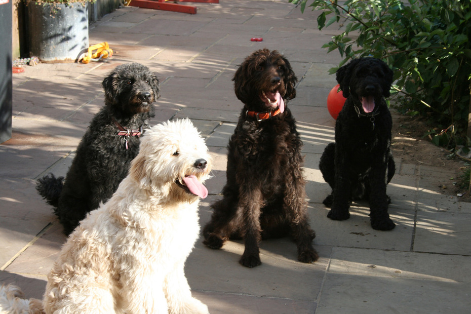 My Labradoodles