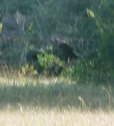 juvenile sasquatch