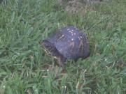 Turtle Sista3 2010