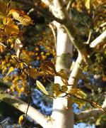 West Himalayan Birch  (Betula utilis jaquemontii) Oct 21 08