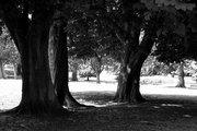 dark trees bw 2