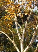 West Himalayan Birch (Betula utilis jaquemontii) Oct 16th 08
