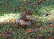 Grey squirrel eating a conker in Park