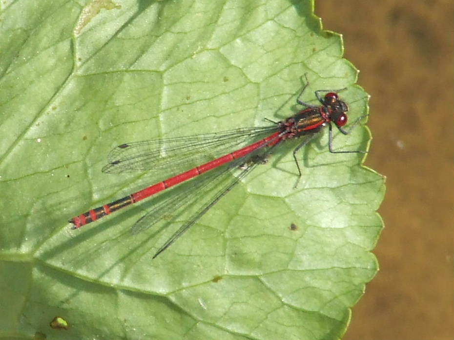 Large Red Damselfly at the pond