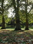 Autumn sunshine through Plane trees Oct 21st 08