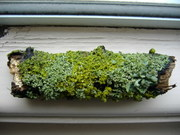 Lichens on twigs June 2012
