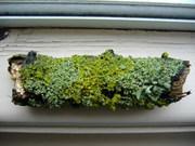 Lichens on twigs June 2012