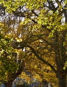 Autumn leaves, Nov 11th '12