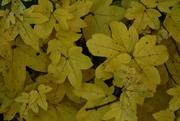 Field Maple in the 'wild' hedge, Nov 14th '12