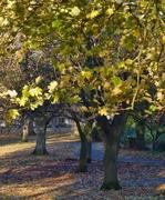 Last leaves, Nov 10th '12