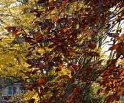 Copper beech, Nov 14th '12