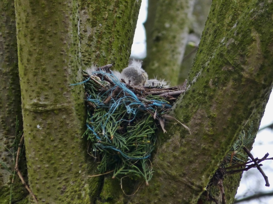 The Mistle Thrush nest  - found at last - and with one and possibly two chicks in it, April 21st '13