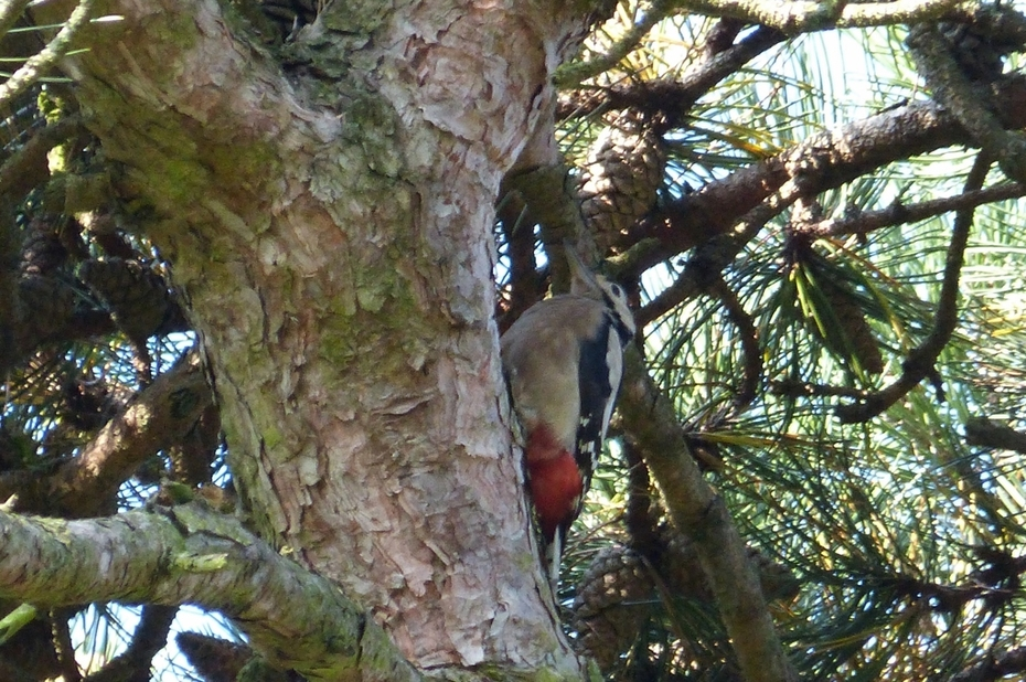 Surprise of this morning's Bird walk - Great Spotted Woodpecker, Sept 21st '14