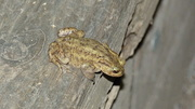 A Common Toad surveys the scene last night at the pond.