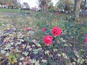 Roses & Leaves in November.