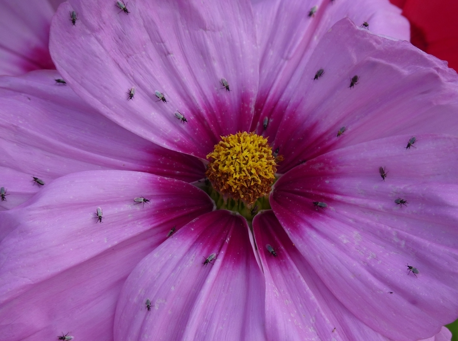 Even small flies find the Cosmos attractive, Sept 16th '14