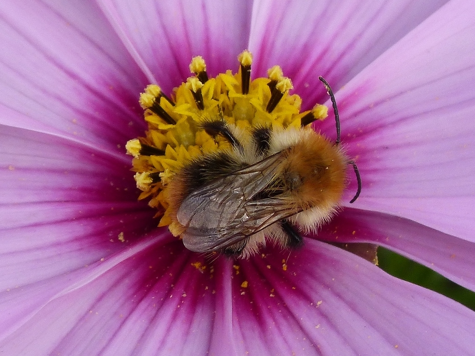 Bumblebee - Bombus pascuorum feeding on Cosmos flower in annuals beds, Sept 3rd, 14