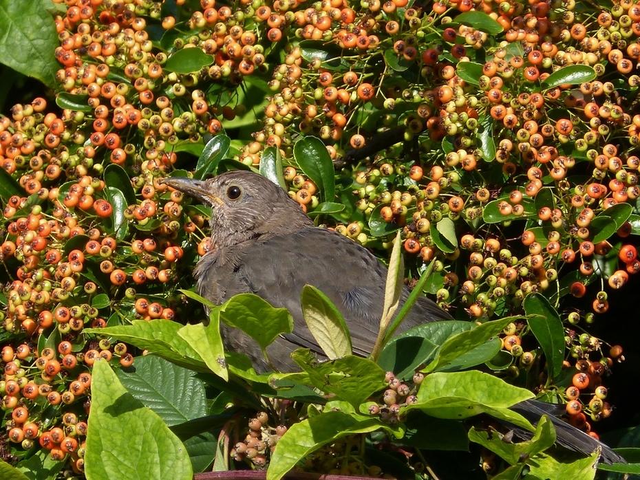 First Bird walk of autumn - blackbird feeding on Cotoneaster berries, Sept 21st '14